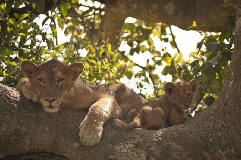 树上升的狮子和崽 库存图片