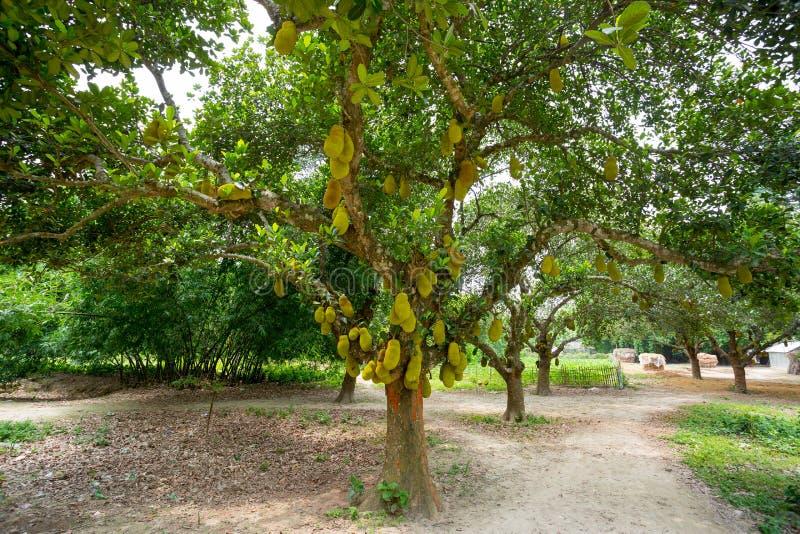 树上挂着一大片胡桃 胡桃果是孟加拉国的国家果实 这是季节性的夏季水果 免版税库存图片