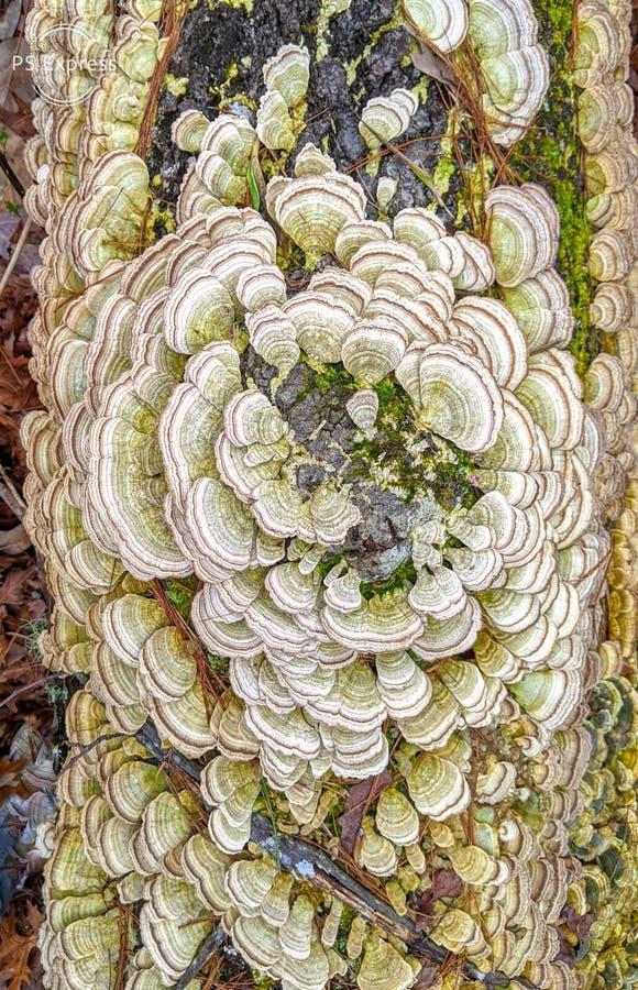 树上的扇形真菌 库存图片