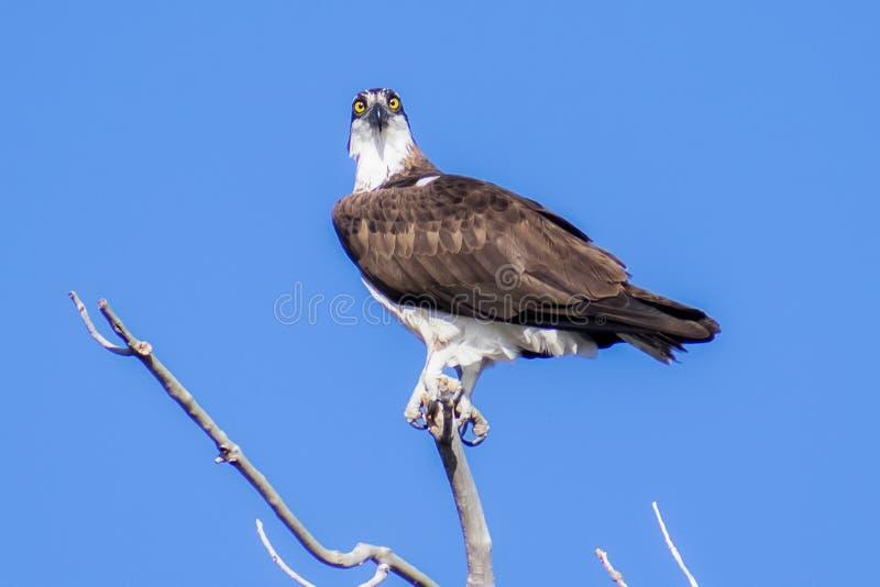 树上的警察鱼鹰 免版税库存图片