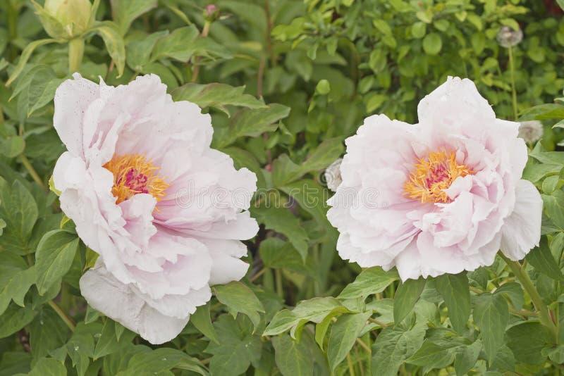 树与桃红色淡色调的牡丹白色与开花在庭院里的两朵花 库存照片