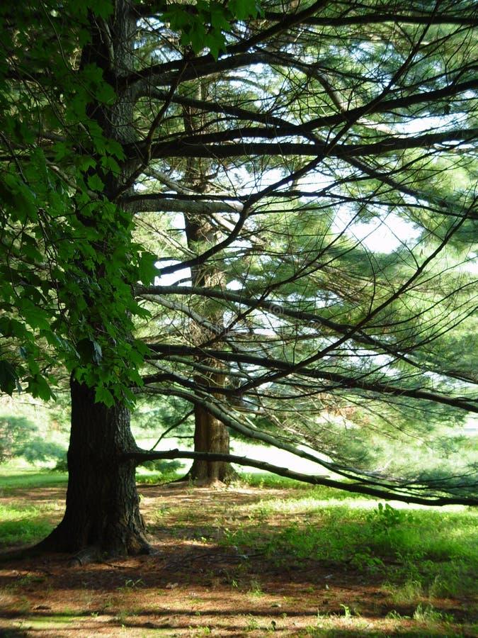 树丛杉树 免版税库存照片