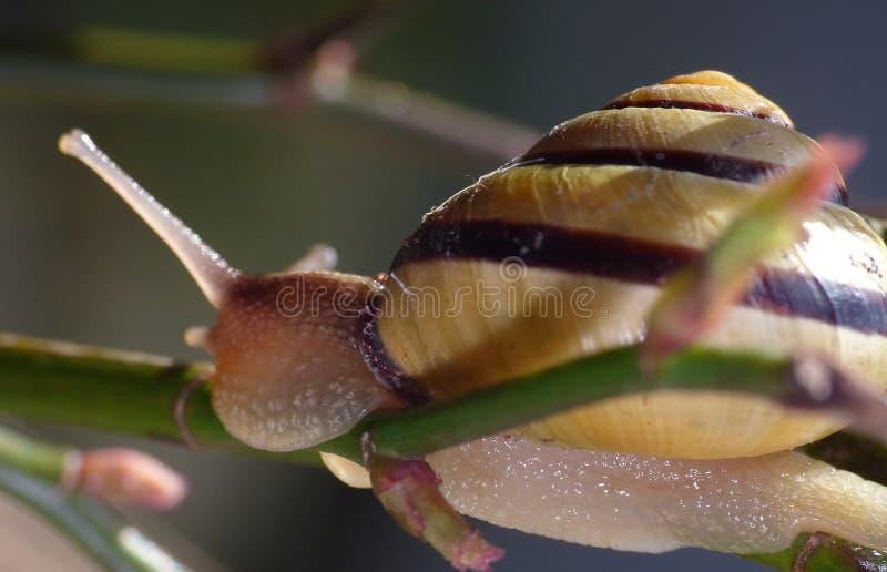 树丛蜗牛在庭院里-接近  库存图片