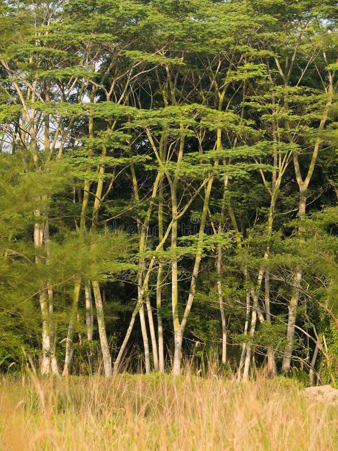 树丛高大的树木 免版税库存图片