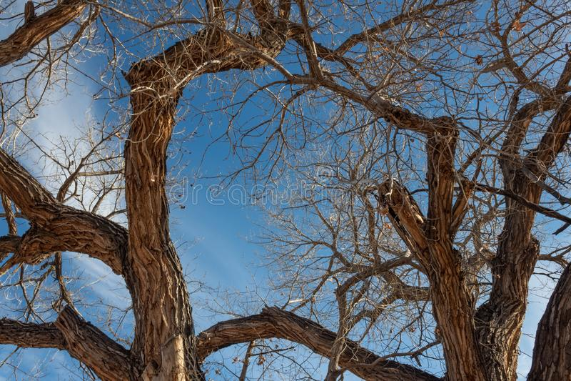 树丛del亚帕基新墨西哥、光秃的三角叶杨树树干和分支反对一明亮的天空蔚蓝的在冬天 库存图片