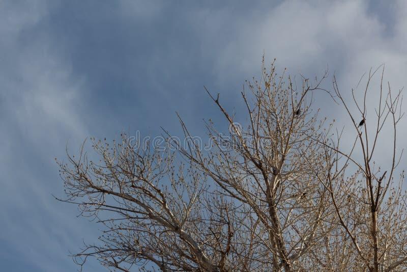 树丛del亚帕基新墨西哥,与黑鹂的冬天树梢反对天空蔚蓝 图库摄影