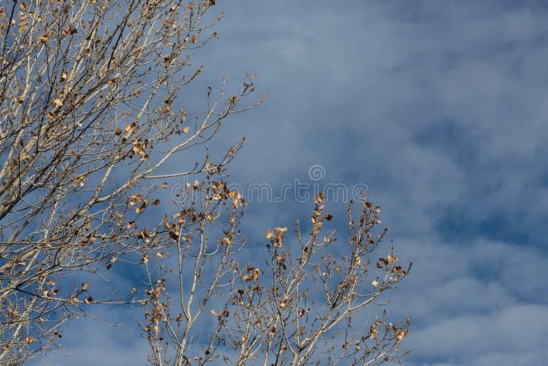 树丛del亚帕基新墨西哥,几乎反对深蓝天空与云彩,拷贝空间的光秃的树枝 免版税库存图片