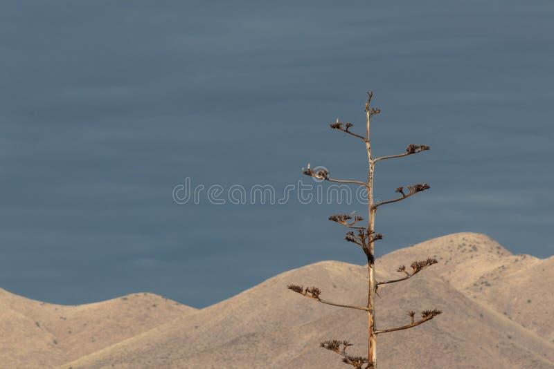树丛del亚帕基新墨西哥,在黑暗的天空和山前现出轮廓的龙舌兰美国龙舌兰 免版税库存照片