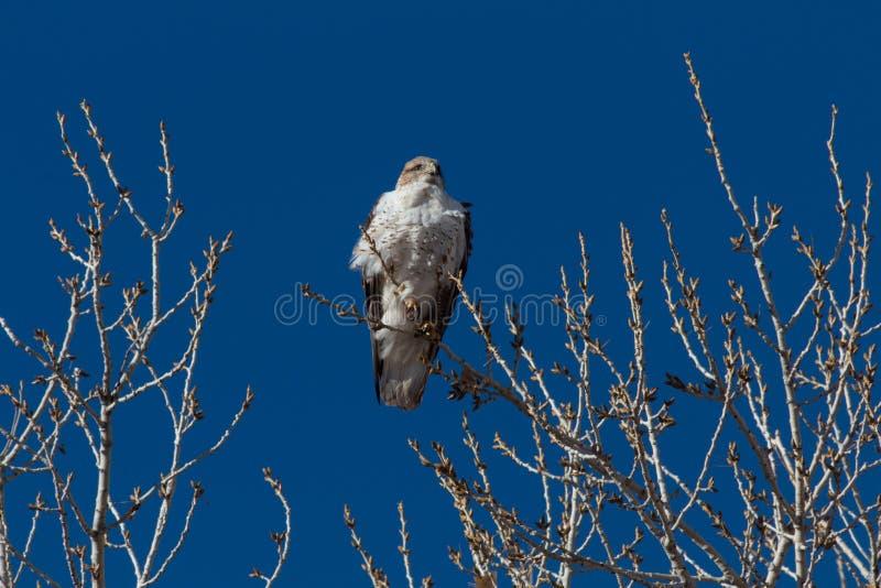 树丛del亚帕基新墨西哥,铁的鹰鵟鸟regalis,现出轮廓反对一深天空蔚蓝,光秃的分支 免版税库存图片