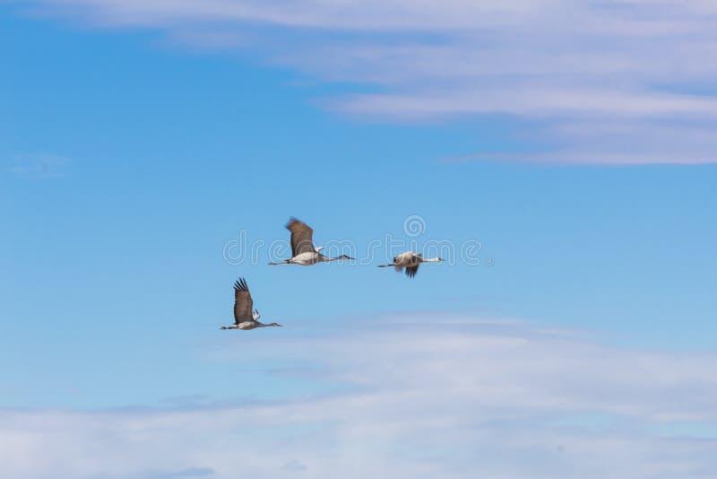 树丛del亚帕基新墨西哥,Sandhill抬头在飞行中安提歌尼canadensis 库存照片