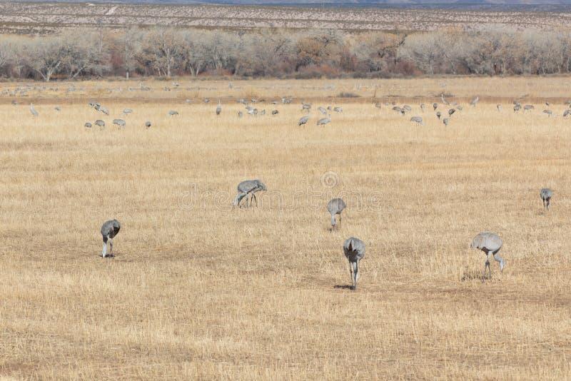 树丛del亚帕基新墨西哥,Sandhill起重机安提歌尼哺养在开放领域,eary早晨冬天的canadensis群 免版税图库摄影