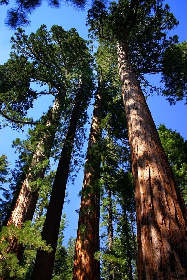 树丛mariposa国家公园优胜美地 免版税库存照片