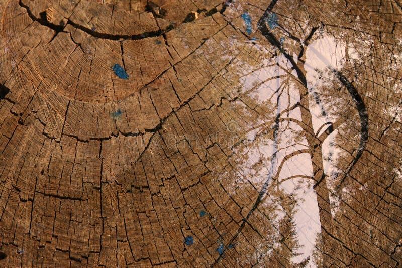 树两次曝光在森林和被切开的树干的 背景蓝色云彩调遣草绿色本质天空空白小束 免版税库存图片