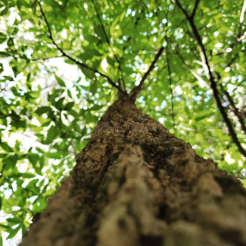 树举行秀丽 库存图片