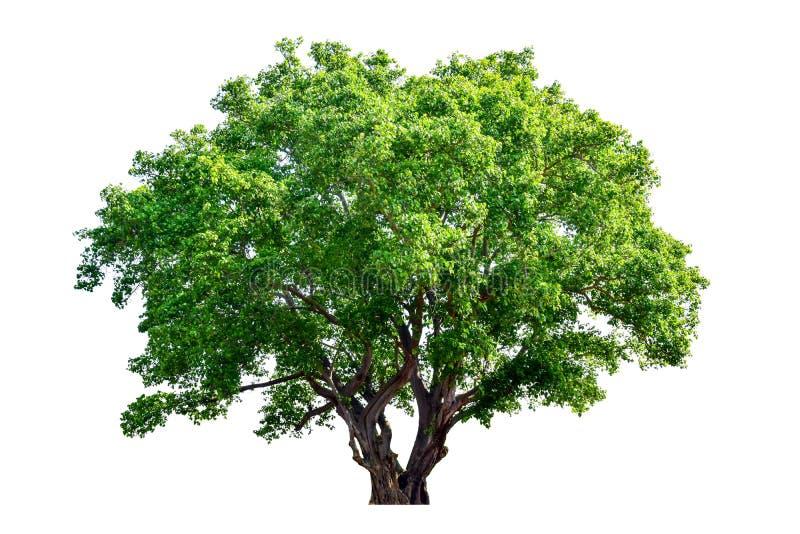 树从白色完全地被分离 库存照片