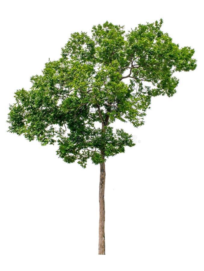 树从白色ba背景完全地被分离 图库摄影