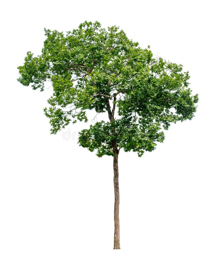 树从白色ba背景完全地被分离 免版税库存照片