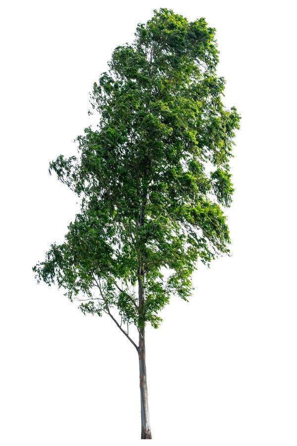 树从白色ba背景科学名字完全地被分离 免版税库存照片