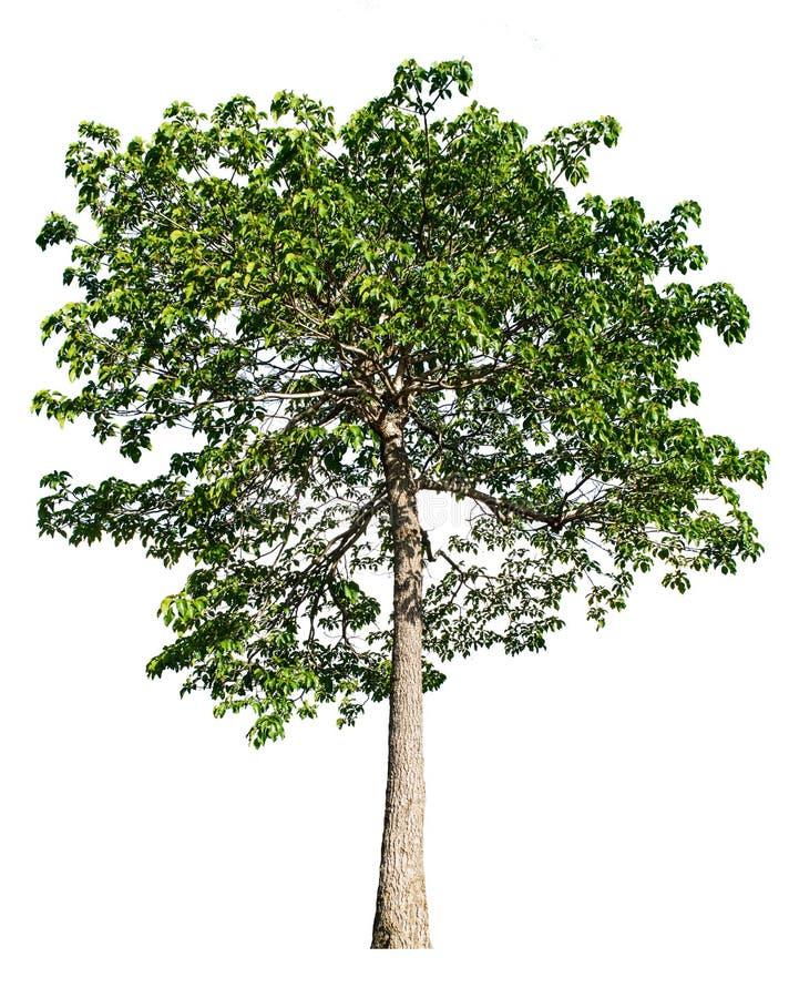树从白色ba背景科学名字完全地被分离 免版税库存图片