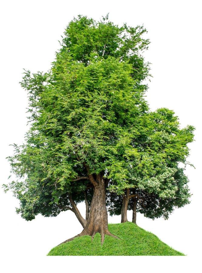 树从白色ba背景科学名字罗望子糖苷L完全地被分离 免版税图库摄影