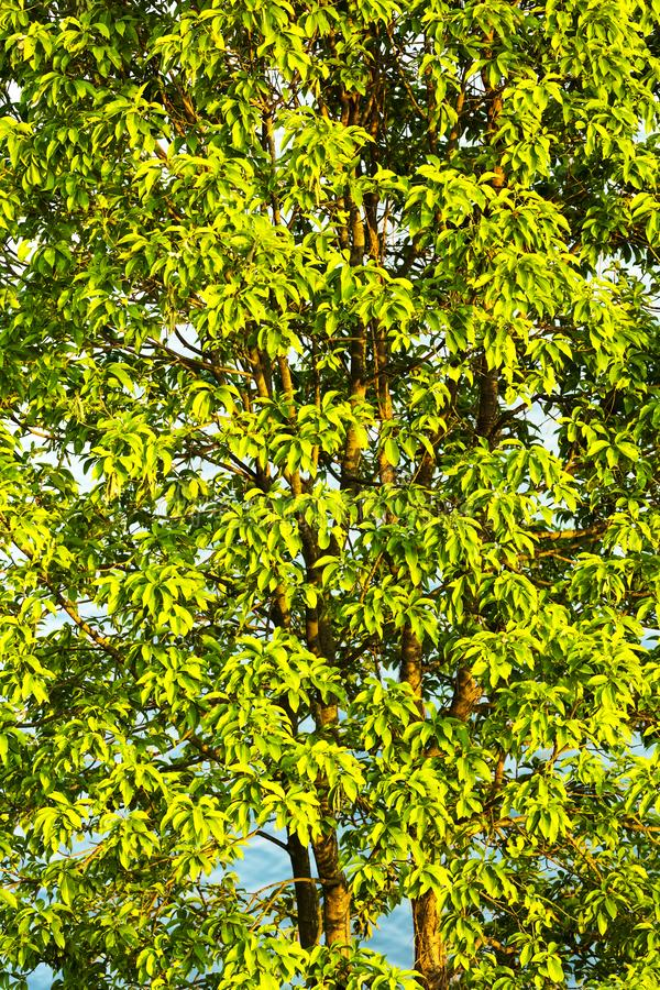 树充满lgreen房檐closup 免版税图库摄影