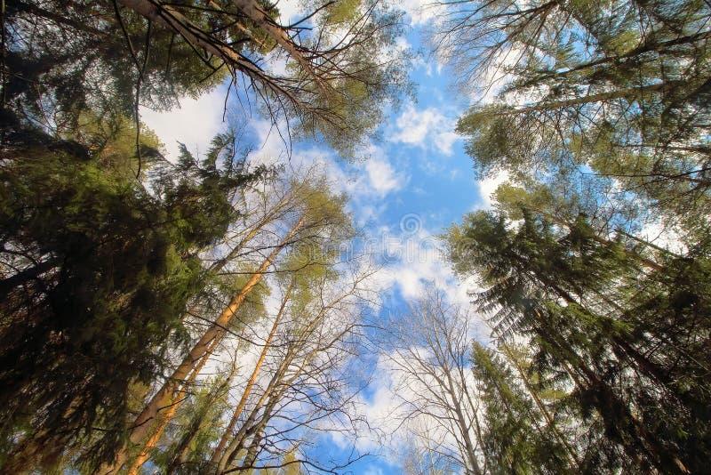 树冠顶、环境森林、木材或公园自然背景中的天空 树梢自然春天,夏季植物 库存照片