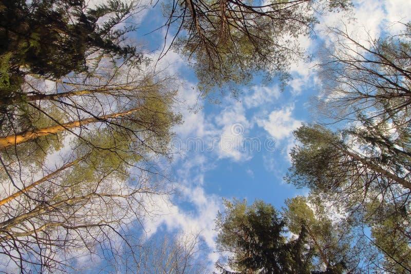 树冠顶、环境森林、木材或公园自然背景中的天空 树梢自然春天,夏季植物 免版税库存图片