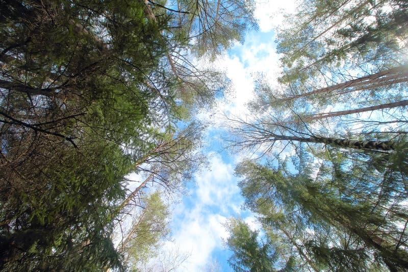 树冠顶、环境森林、木材或公园自然背景中的天空 树梢自然春天,夏季植物 免版税库存照片