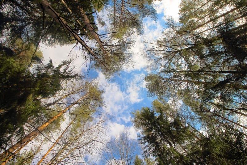树冠顶、环境森林、木材或公园自然背景中的天空 树梢自然春天,夏季植物 图库摄影