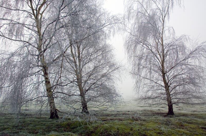 树冰结冰的桦树在Wortham陵Diss诺福克 图库摄影