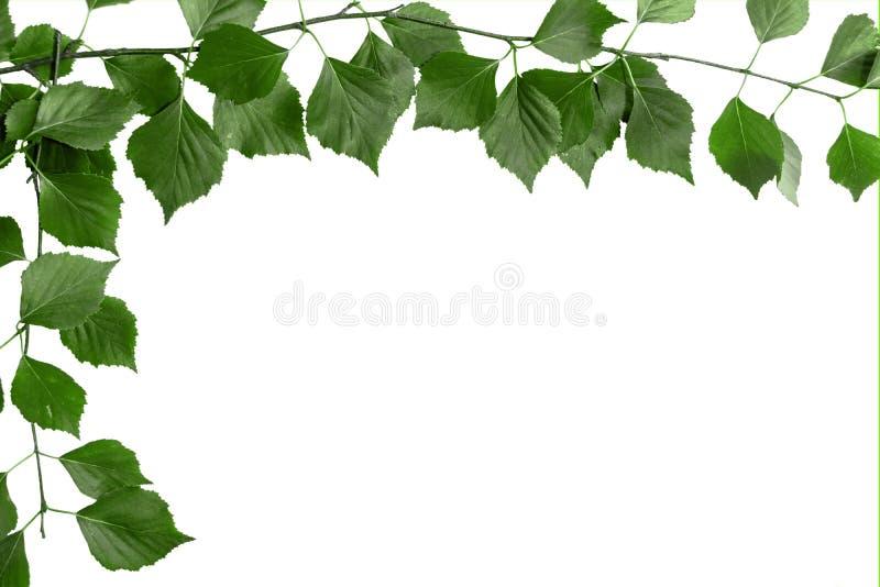 树分支与绿色叶子的 白色背景,文本的拷贝空间 图库摄影