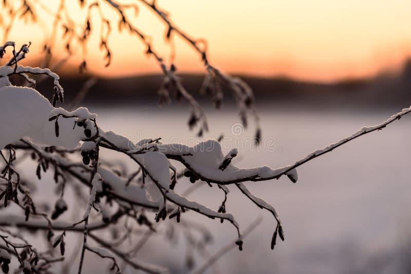 树分支用暴雪和日落时间包括在冬天季节在假日村庄Kuukiuru,芬兰 免版税库存图片
