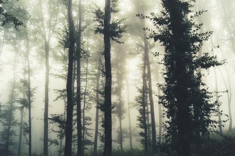 树剪影在有雾的密林 免版税图库摄影