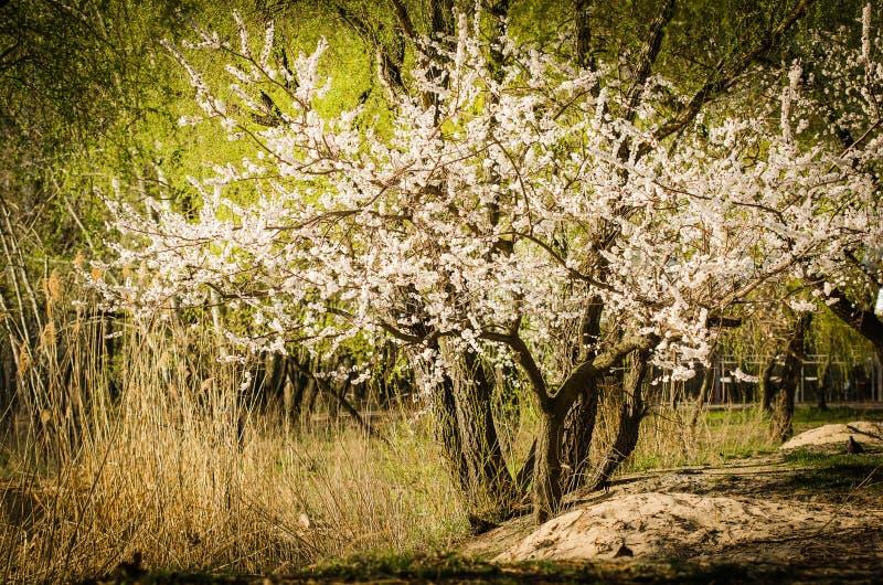 树加点与白花在春天 库存图片