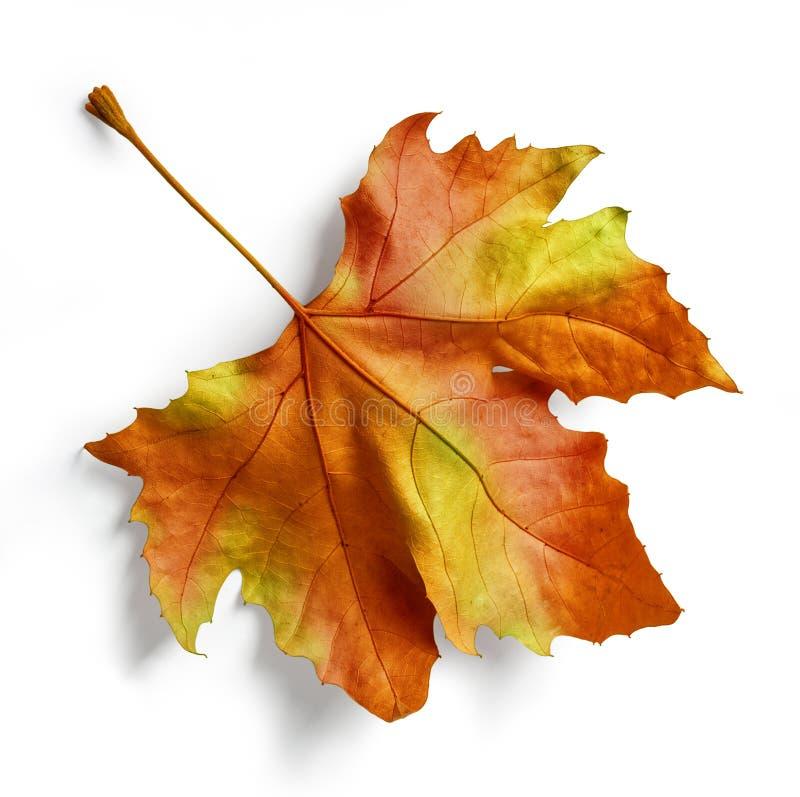 树叶子 免版税库存照片
