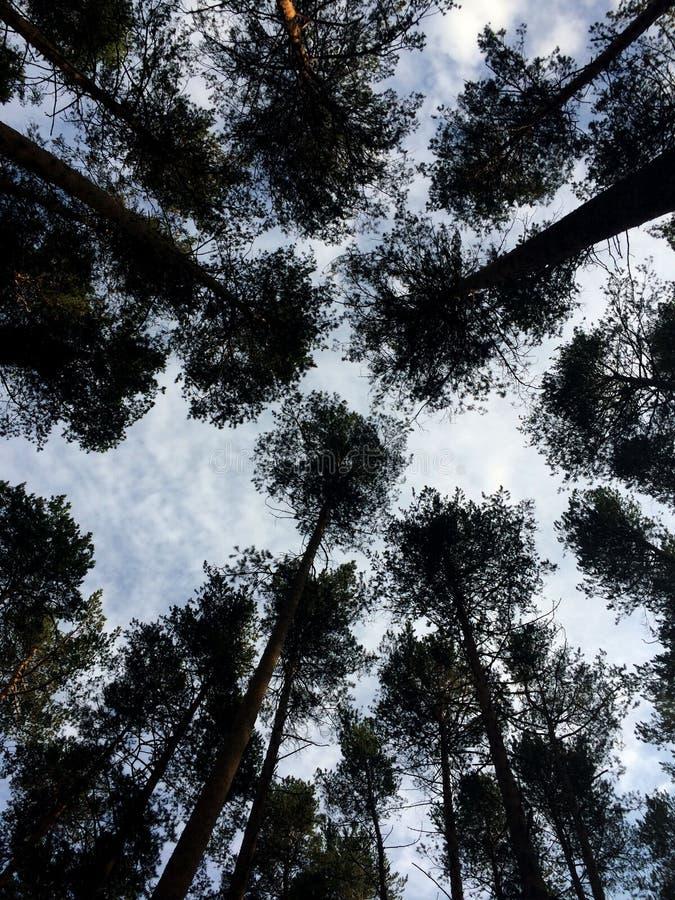 树和云彩,从下面看 乌拉尔,俄罗斯 图库摄影