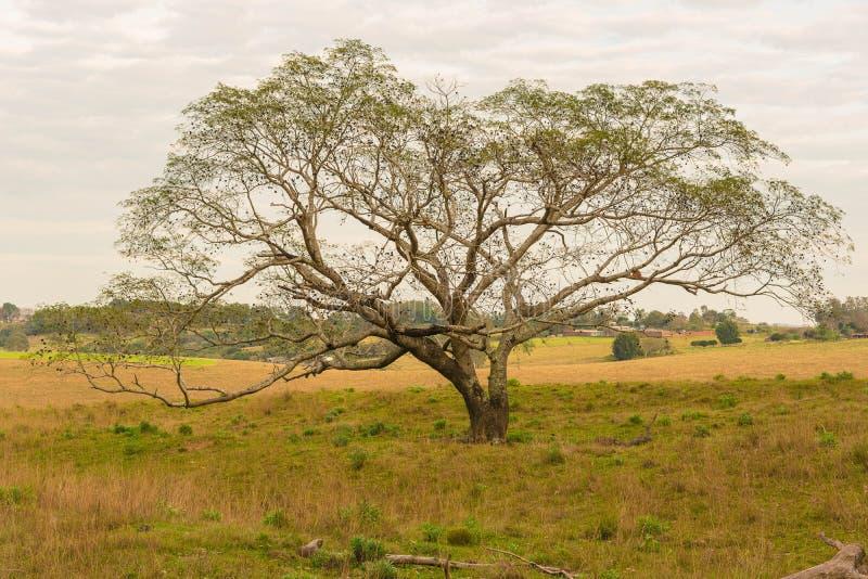 树和它的巨大机盖 免版税图库摄影