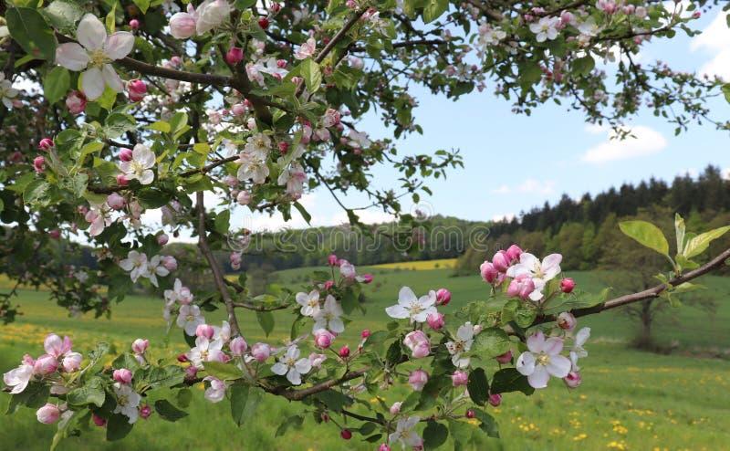 树和小山的看法通过开花在树的春天花 免版税库存照片