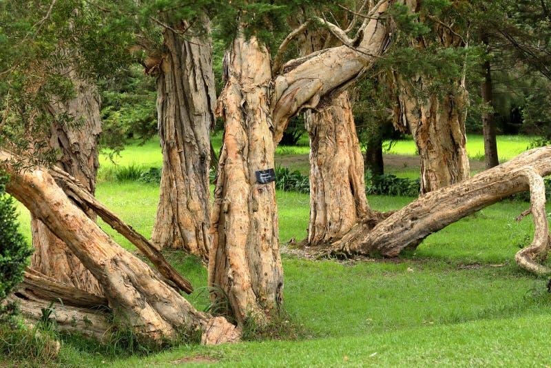 树和森林努沃勒埃利耶的在斯里兰卡 库存照片