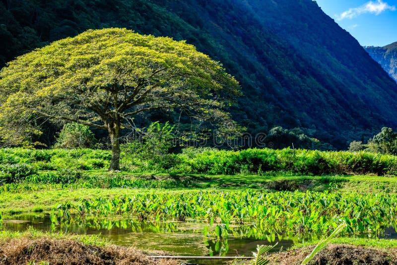 树和芋头在Waipio谷夏威夷调遣 库存图片