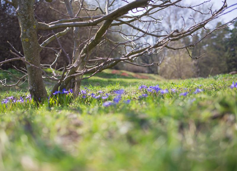 树和芽在春天反对天空和草 免版税库存照片