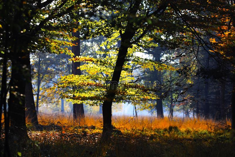 树和草甸被隔绝的清洁的德国森林发光的明亮金黄在下午秋天太阳的Brüggen,德国 免版税库存图片