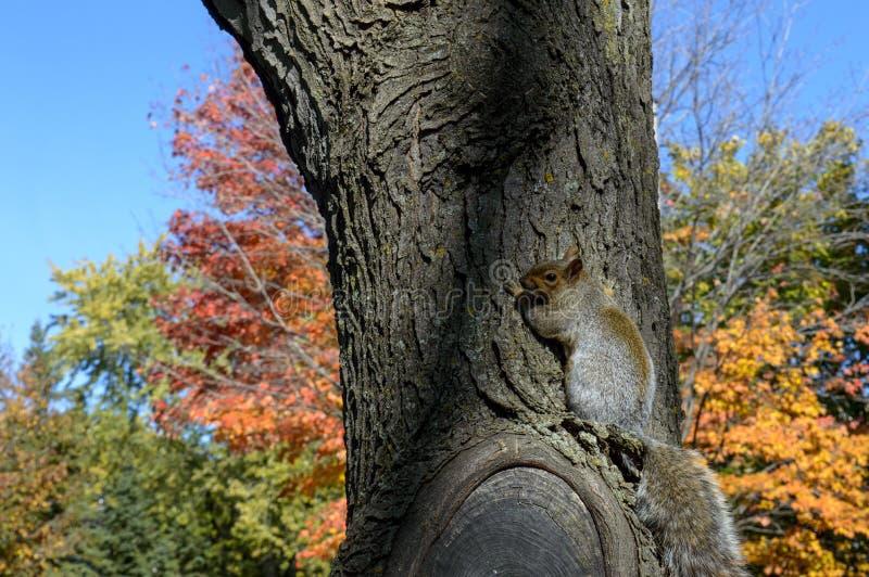 树在五颜六色的树秋天背景中的拥抱灰鼠 图库摄影