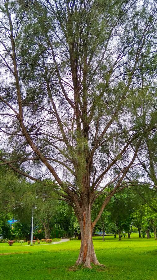 树在公园詹谢普尔贾坎德邦jublee公园在印度 库存图片