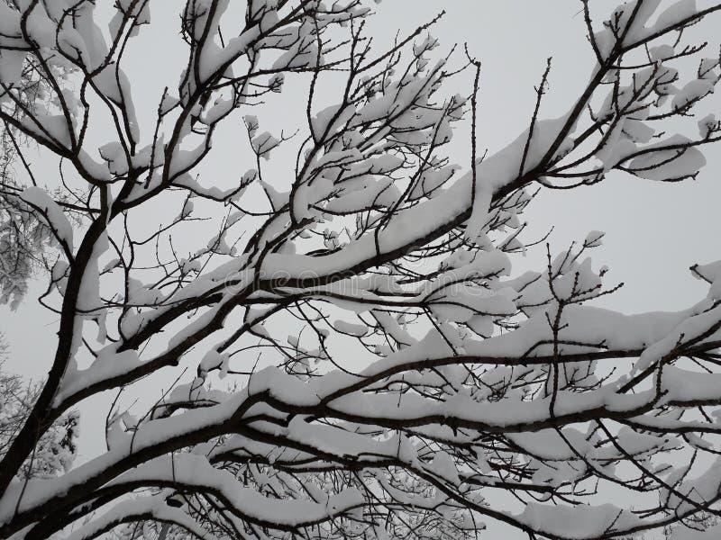 树在冬天,塞尔维亚 免版税库存照片