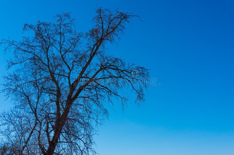 树在反对天空蔚蓝的早期的春天 库存图片