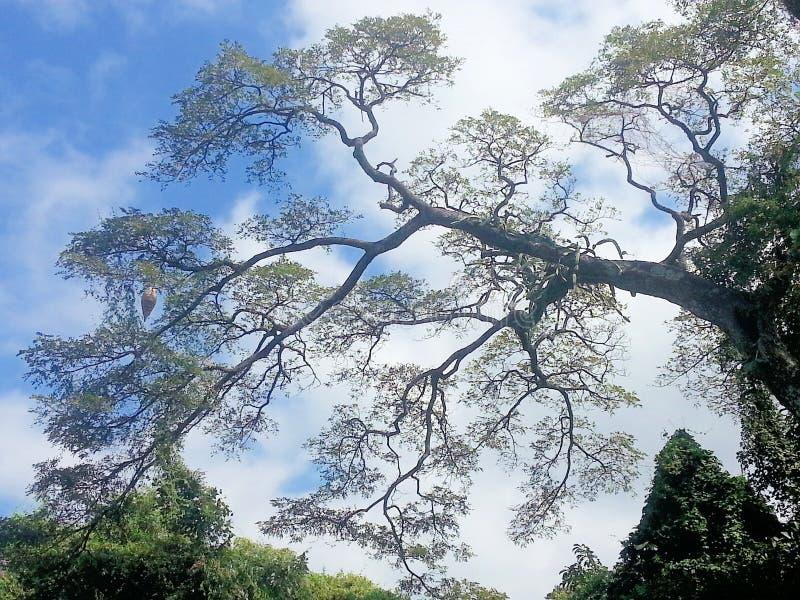 树在哥斯达黎加的森林里 库存图片
