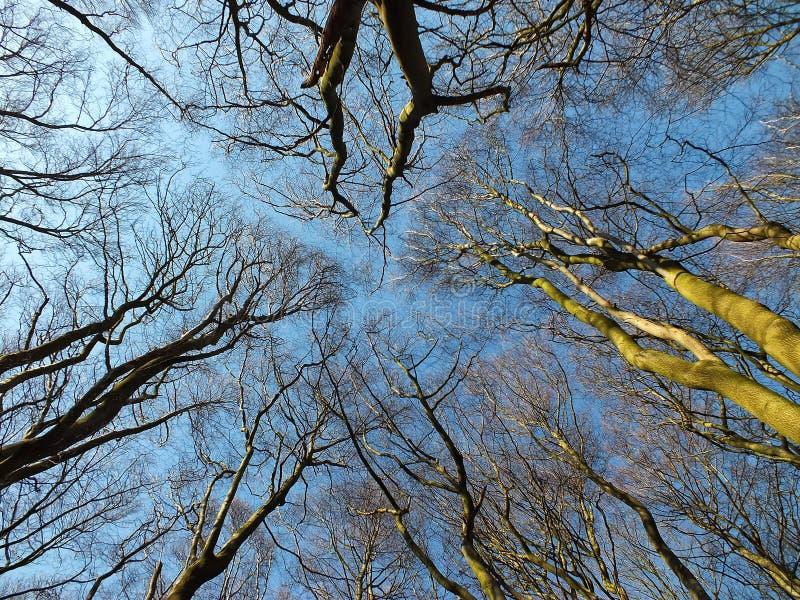 树在山毛榉森林地冠上看向上在林冠层 免版税库存图片