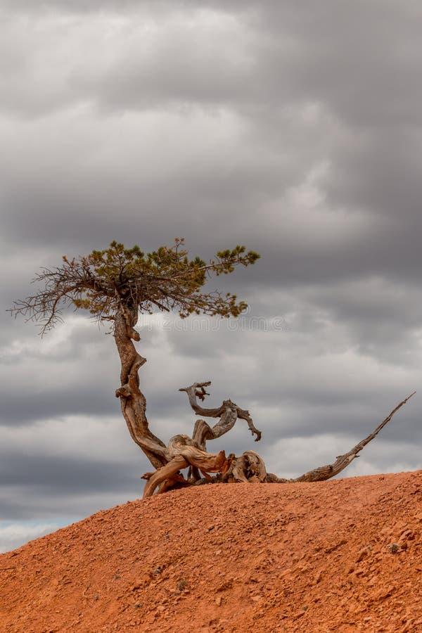 树在布赖斯峡谷的面对风雨如磐的云彩 免版税库存照片