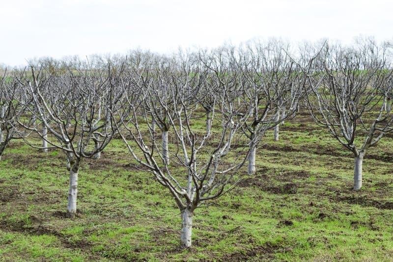 树在庭院里在春天 赤裸果树 免版税库存图片